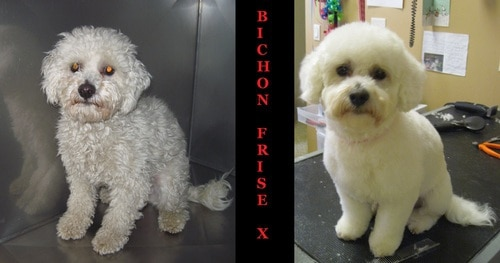 A bichon frise mix before and after grooming