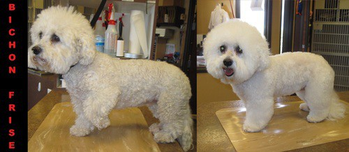 A white bichon frise before and after grooming