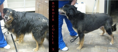 A border collie mix before and after grooming