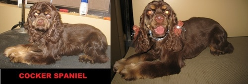 A cocker spaniel before and after grooming