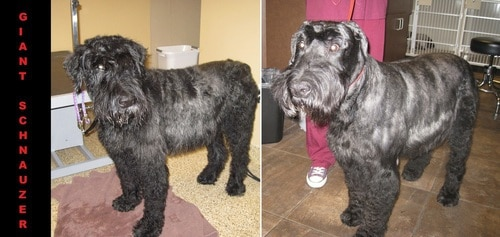 A giant Schnauzer before and after grooming