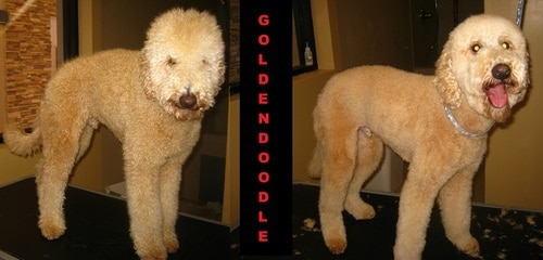 A Golden Doodle before and after grooming