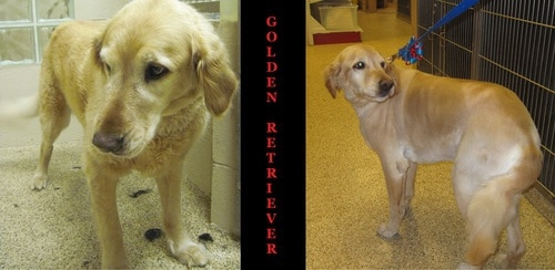 A Golden Retriever before and after grooming