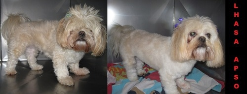 A white lhasa apso before and after grooming