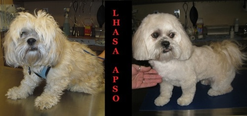 A Lhasa Apso before and after grooming