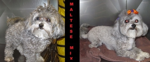 A grey Maltese mix before and after grooming