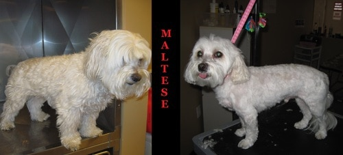 A before and after photo of a Maltese that has been freshly groomed