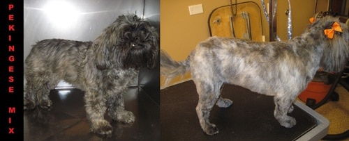 A grey pekingese mix before and after grooming