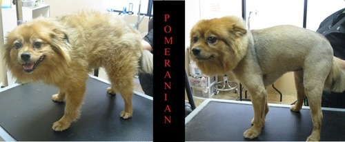 """A Pomeranian before and after grooming with a 'Lion cut"""""""