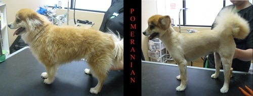 A Pomeranian before and after grooming