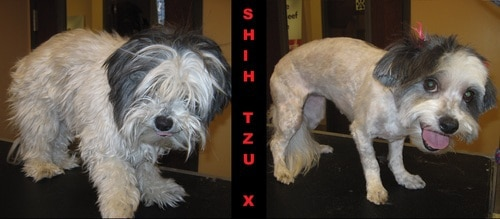 A black and white shih tzu mix before and after grooming