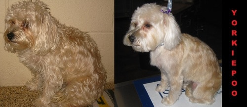 A beige and white Yorkie poo before and after grooming