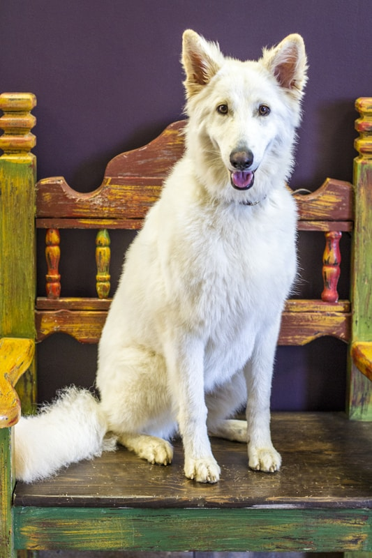 A large white dog named Airees