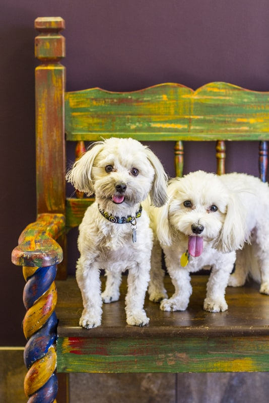 Two bichon frise dogs named Baxrer and Cooper