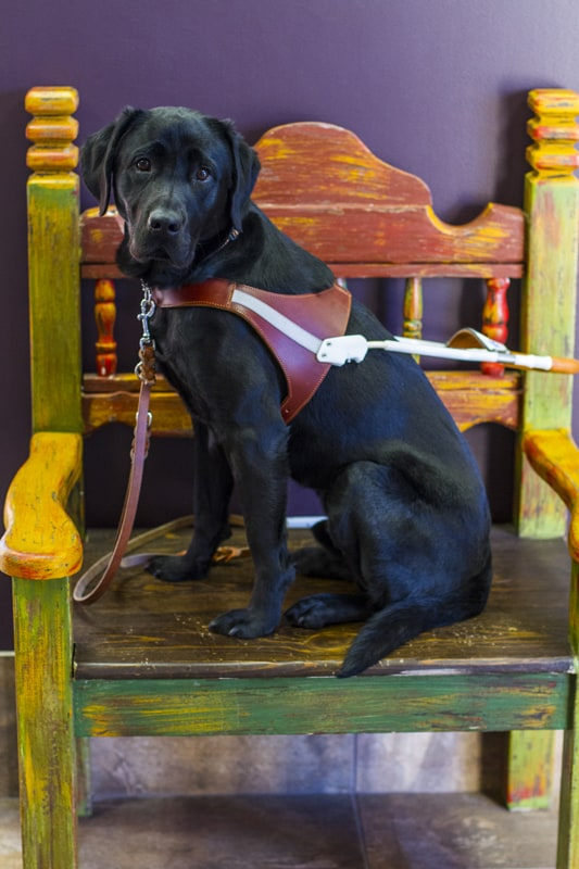 A black lab named Carson wearing his seeing eye harness