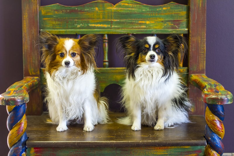 Two Papillons named Harley and Shelby