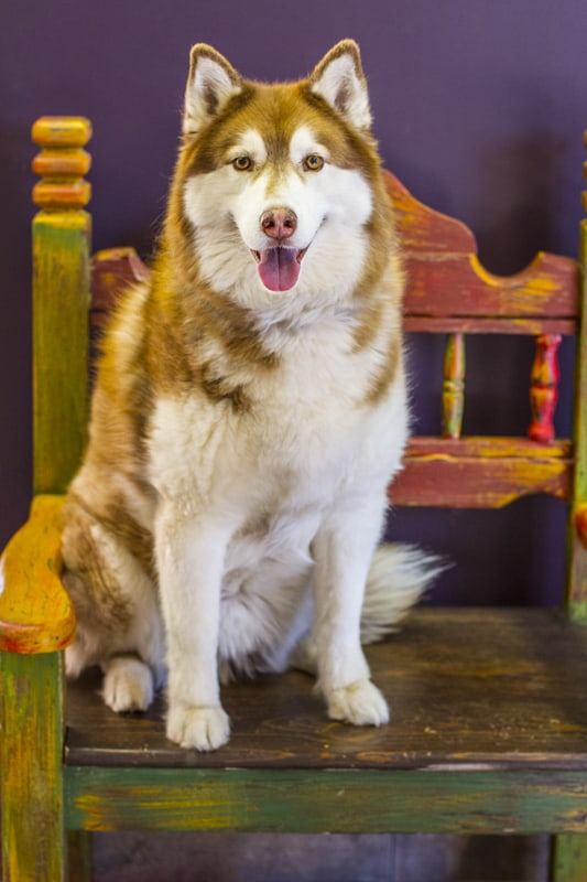 A Siberian Husky named Kodiak