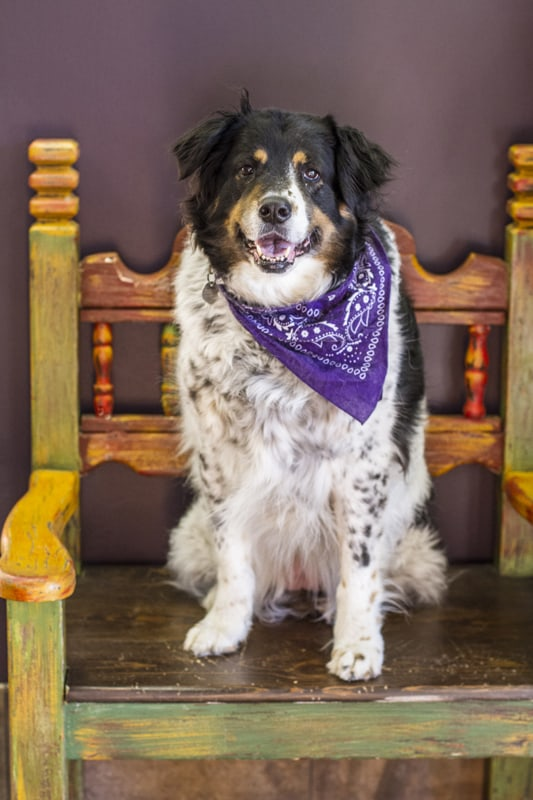 A black, white and tan dog wearing a purple bandana