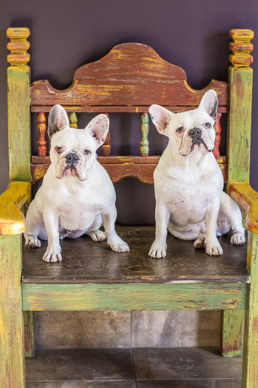 Two white french bulldogs
