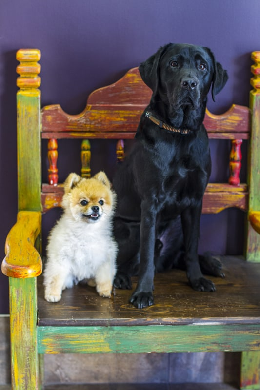 A Pomeranian and large black labrador named Snickers and Carson
