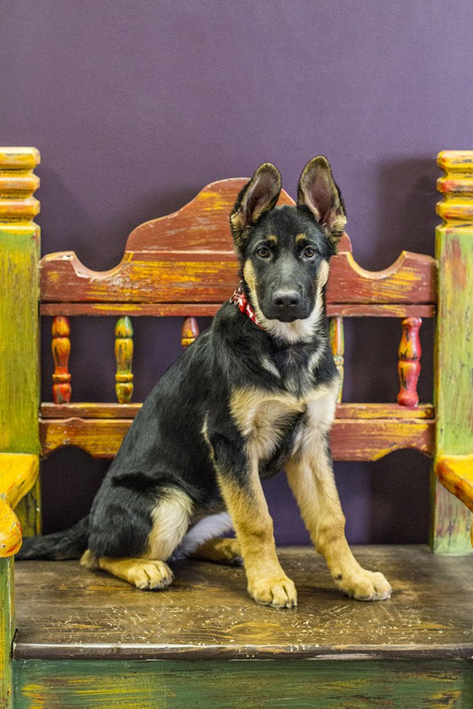 A German Shepherd puppy named named Stella